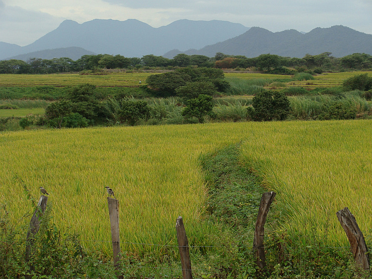 Rice fields in the coastal plains between Suyo and Las Lomas