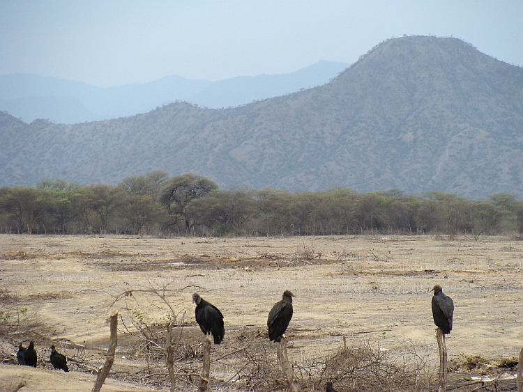 Vultures near Olmos