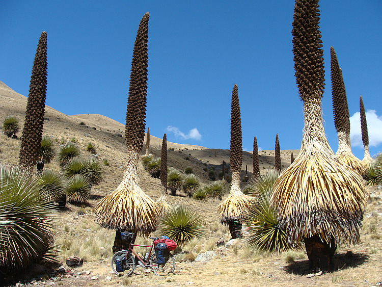 Between the Puya Raimundii plants