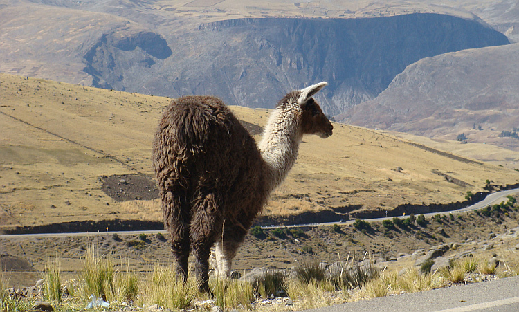 Lama on the way to Huancavelica