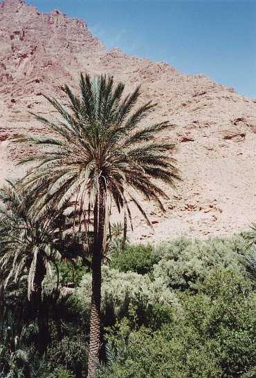 Palm tree, Todra Valley