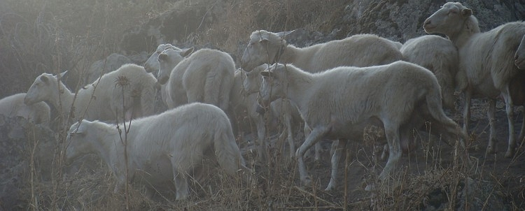 The sheep of Sardinia