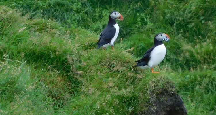 Puffins on the Vestmannaeyjar Islands