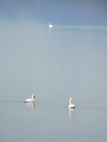 Whooper swans between Höfn and Djúpivogur