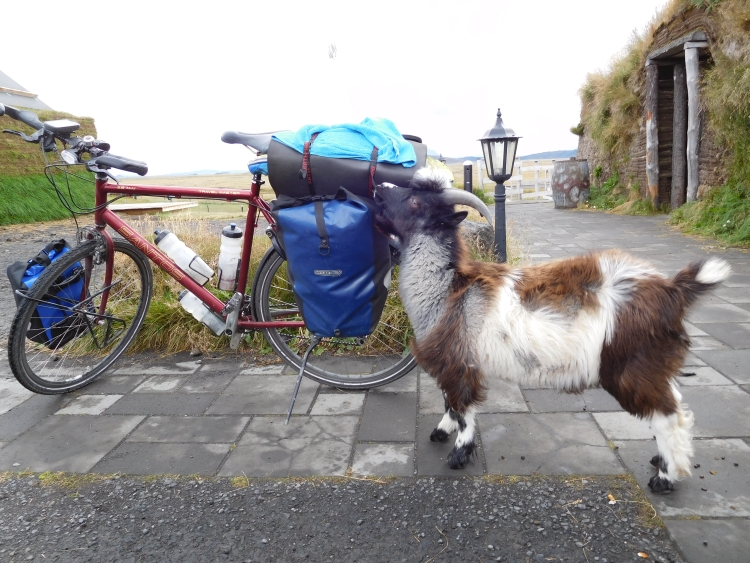 Goat in Möđrudalur is trying to eat my bicycle