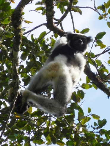 Indri Indri in Nationaal Park Andasibe