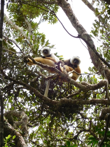 Diadeemsifaka in Nationaal Park Andasibe