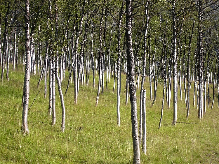 Enchanted forest. Forest of birch trees, Finnmark